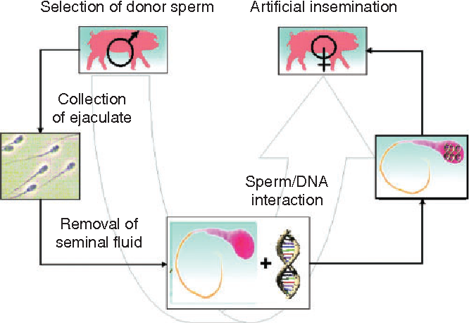 Sperm mediated gene transfer overview