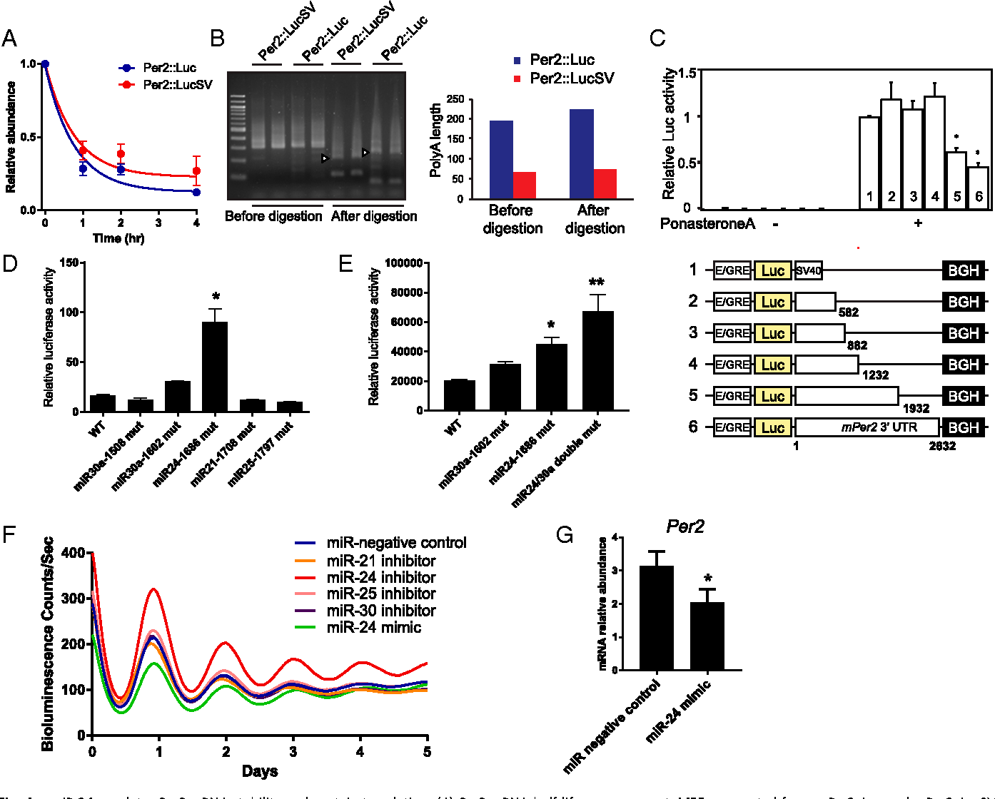 Figure 4 From Period 2 3 Utr And Microrna 24 Regulate Circadian