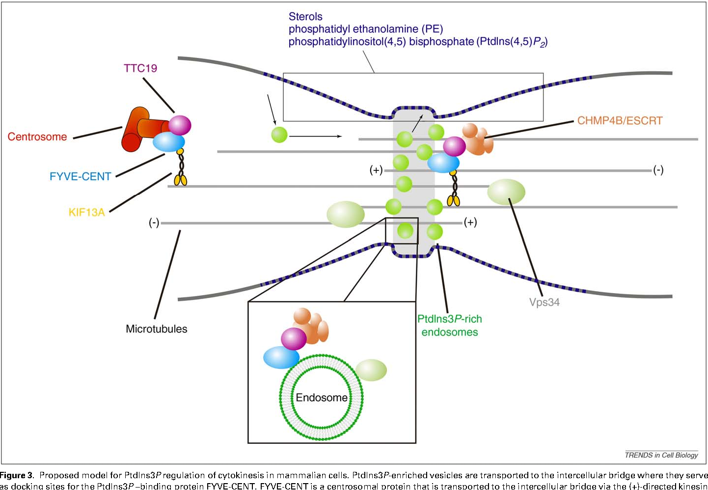 Divide And Prosper The Emerging Role Of Ptdins3p In Cytokinesis