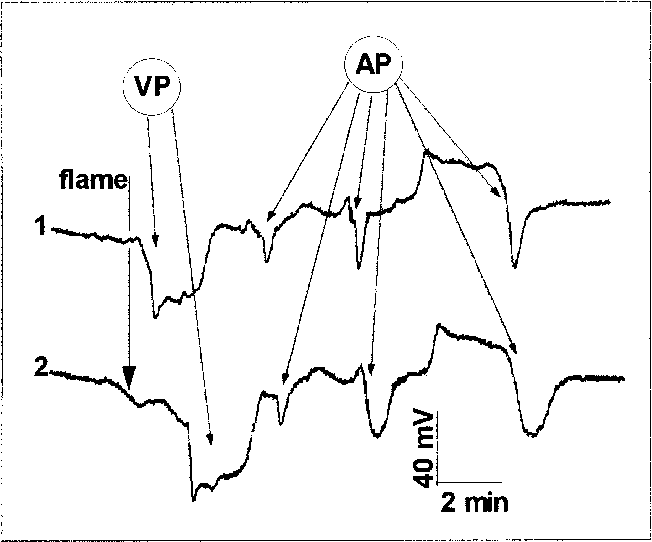 PDF] Hydraulic and electrical transmission of wound-induced signals