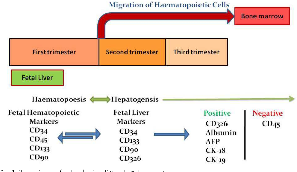 Cell Based Therapy For Chronic Liver Disease Role Of Fetal Liver