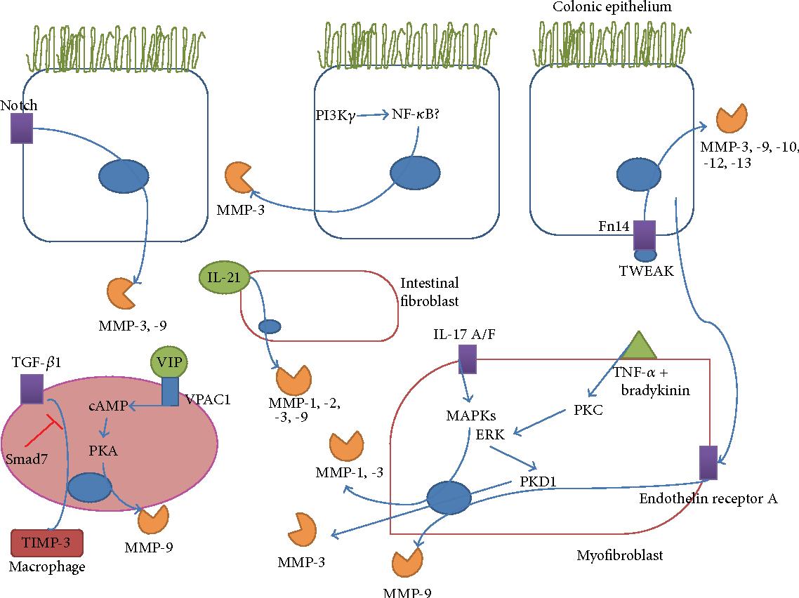 Figure 1 from Matrix Metalloproteinases in Inflammatory Bowel