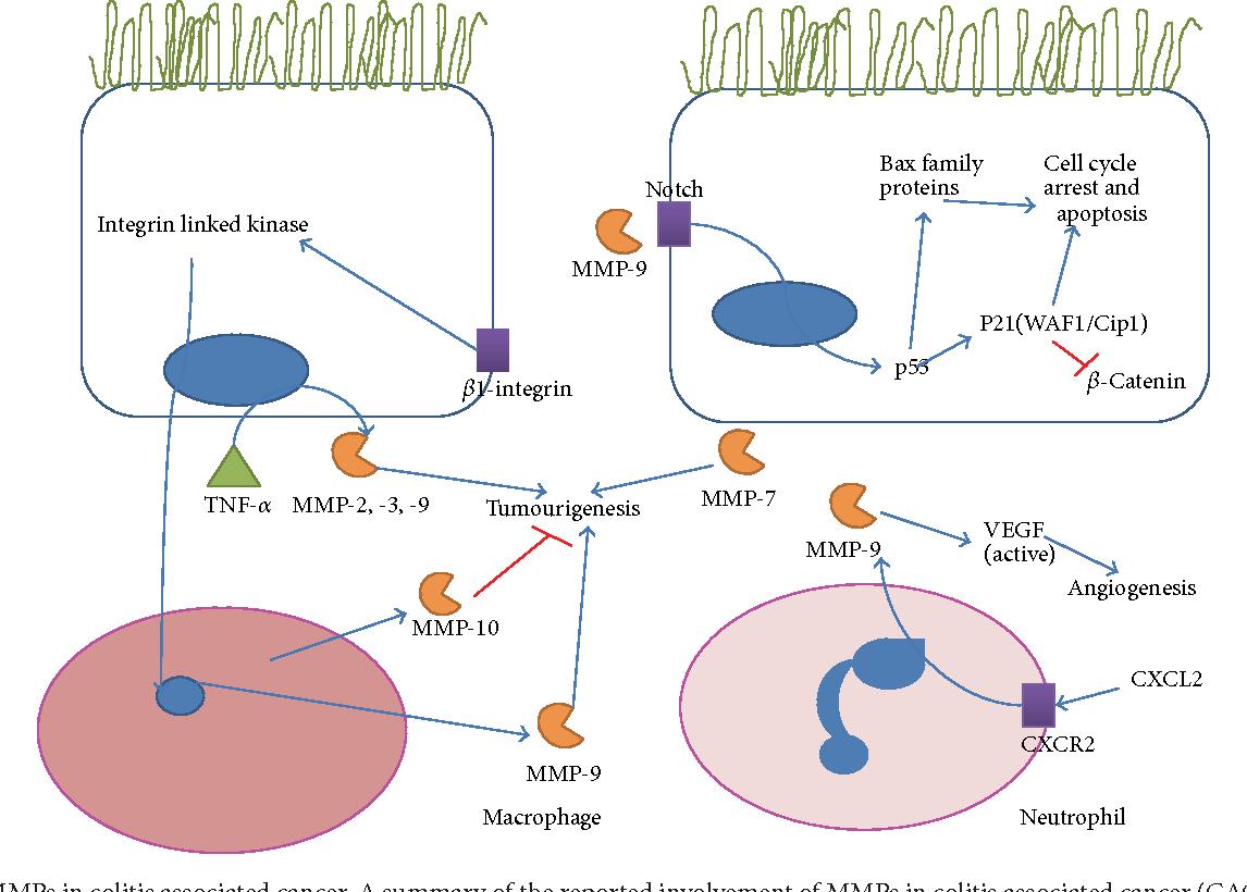 Figure 3 from Matrix Metalloproteinases in Inflammatory Bowel