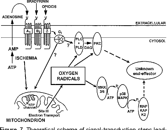 Figure 7 From Opening Of Mitochondrial Katp Channels Triggers The