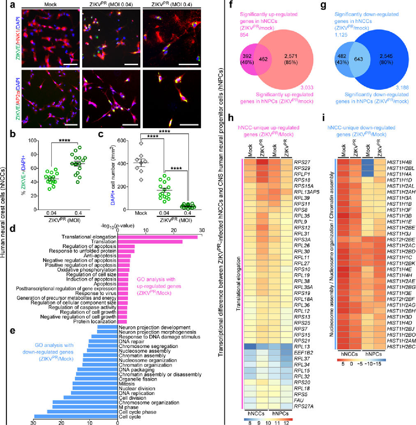 Figure 2. ZIKV efficiently infects human pluripotent stem cell-derived neural crest cells. hNCCs were treated with ZIKVPR (MOI of 0.04 or 0.4) or mock for 65 h. (a) Representative images of hNCCs immunostained with the indicated antibodies. Scale bars, 100 μm. (b) Quantification of the percentage of ZIKVE+ hNCCs, relative to the number of DAPI+ cells (n = 15 for MOI of 0.04, n = 16 for MOI of 0.4; ****P < 0.0001; unpaired Student's t-test). (c) The number of DAPI+ hNCCs per mm2 (n = 8 for Mock, n = 15 for MOI of 0.04, n = 16 for MOI of 0.4; ****P < 0.0001; unpaired Student's t-test). All error bars represent mean ± s.e.m. The number of cell cultures is indicated for each group (n). (d,e) Genes with significant