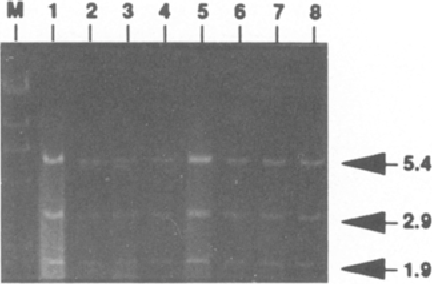 Fig. 3. Analysis on a 0.6% agarose gel of A c c I restriction digest of pFC 1 DNA isolated from E. coli before (lane 1) or after replication in S.6803 (lanes 2 and 3), S.6714 (lanes 4 and 5), S.7942 (lanes 6 and 7), or S.6301 (lane 8). Lambda phage DNA digested with HindIII represents the molecular weight marker (M).