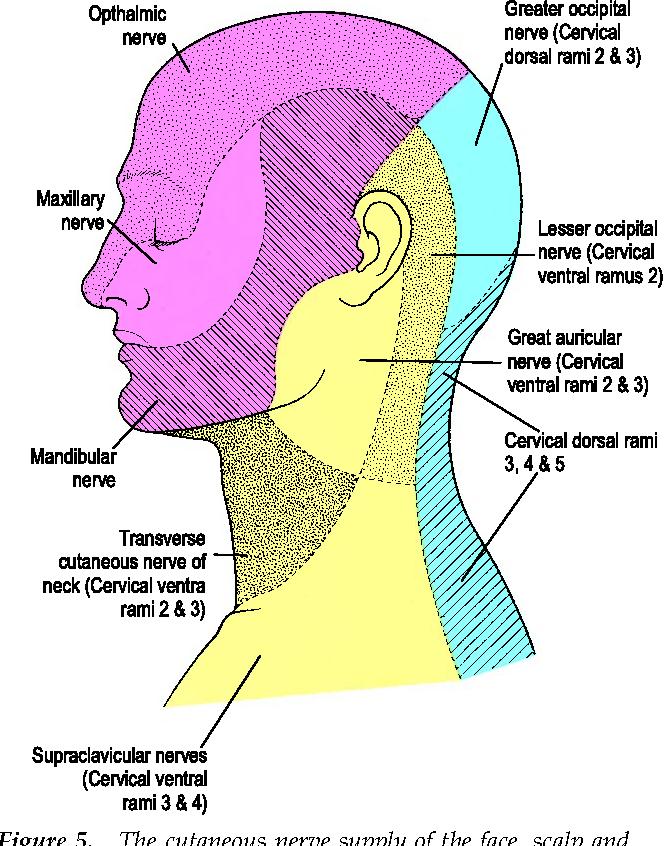 Figure 5 From Facial Anatomy Semantic Scholar