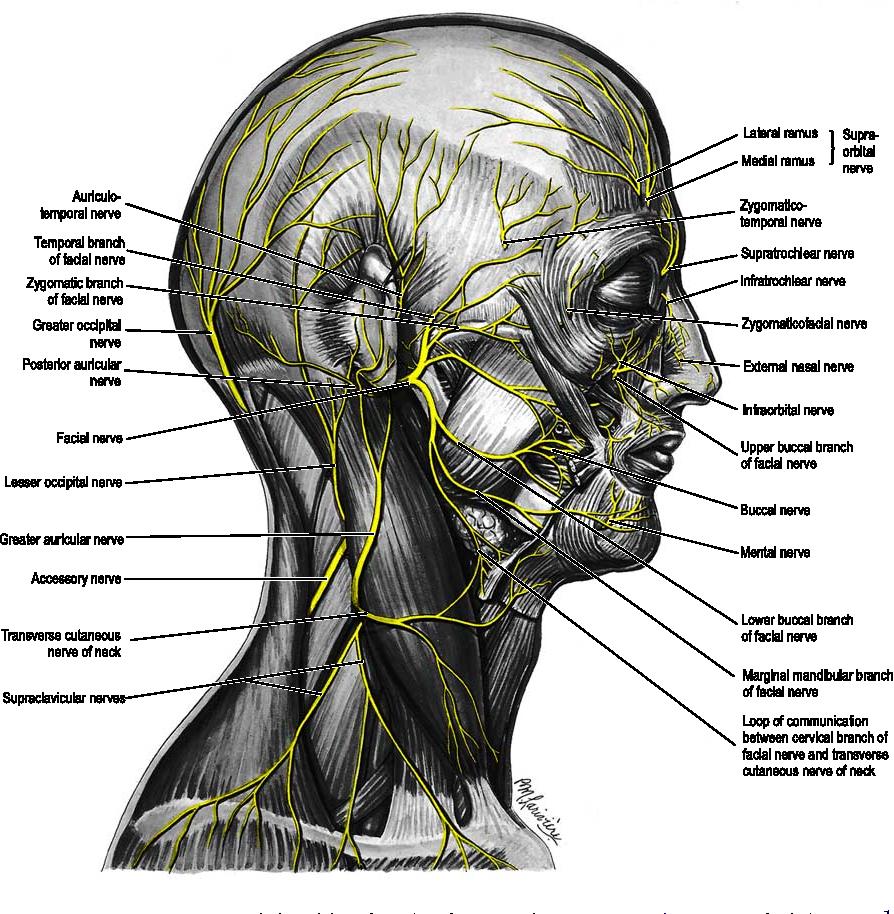 Figure 7 from Facial anatomy. - Semantic Scholar