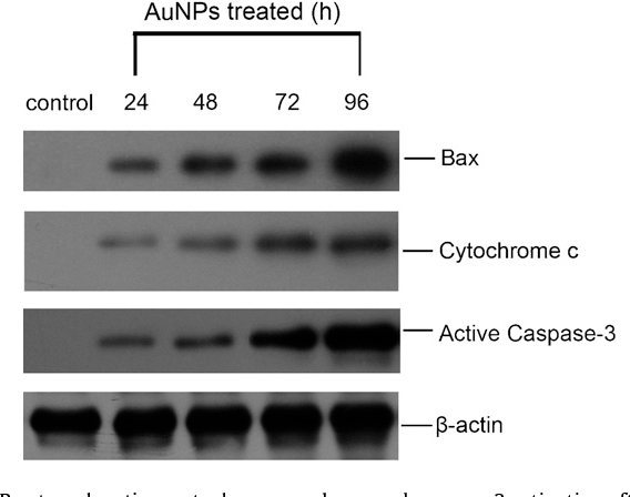Fig. 9. Bax translocation, cytochrome c release and caspase-3 activation after incubation with 8 nm AuNPs. HL7702 cells were incubated with 8 nm AuNPs (50 nM) for 0, 24, 48, 72 and 96 h. Membrane and cytosolic fractions were prepared as described in Section 2. -Actin was used as the loading control. For Bax translocation, equal amounts of membrane protein (50 g) were loaded in each well of a 15% SDS-PAGE followed by western blotting analysis using anti-Bax antibody. The arrows indicate the content of Bax in membrane fractions (upper panel). For cytochrome c release, equal amounts of cytosolic protein (50 g) were loaded in each well of a 12.5% SDSPAGE followed by western blotting analysis using anti-cytochrome c antibody. The arrows indicate cytosolic content of cytochrome c (middle panel). For active caspase3, equal amounts of cytosolic protein (30 g) were loaded in each well of a 15% S b (