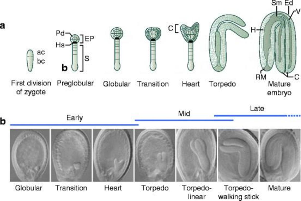 Investigating the interplay between gibberellin signaling