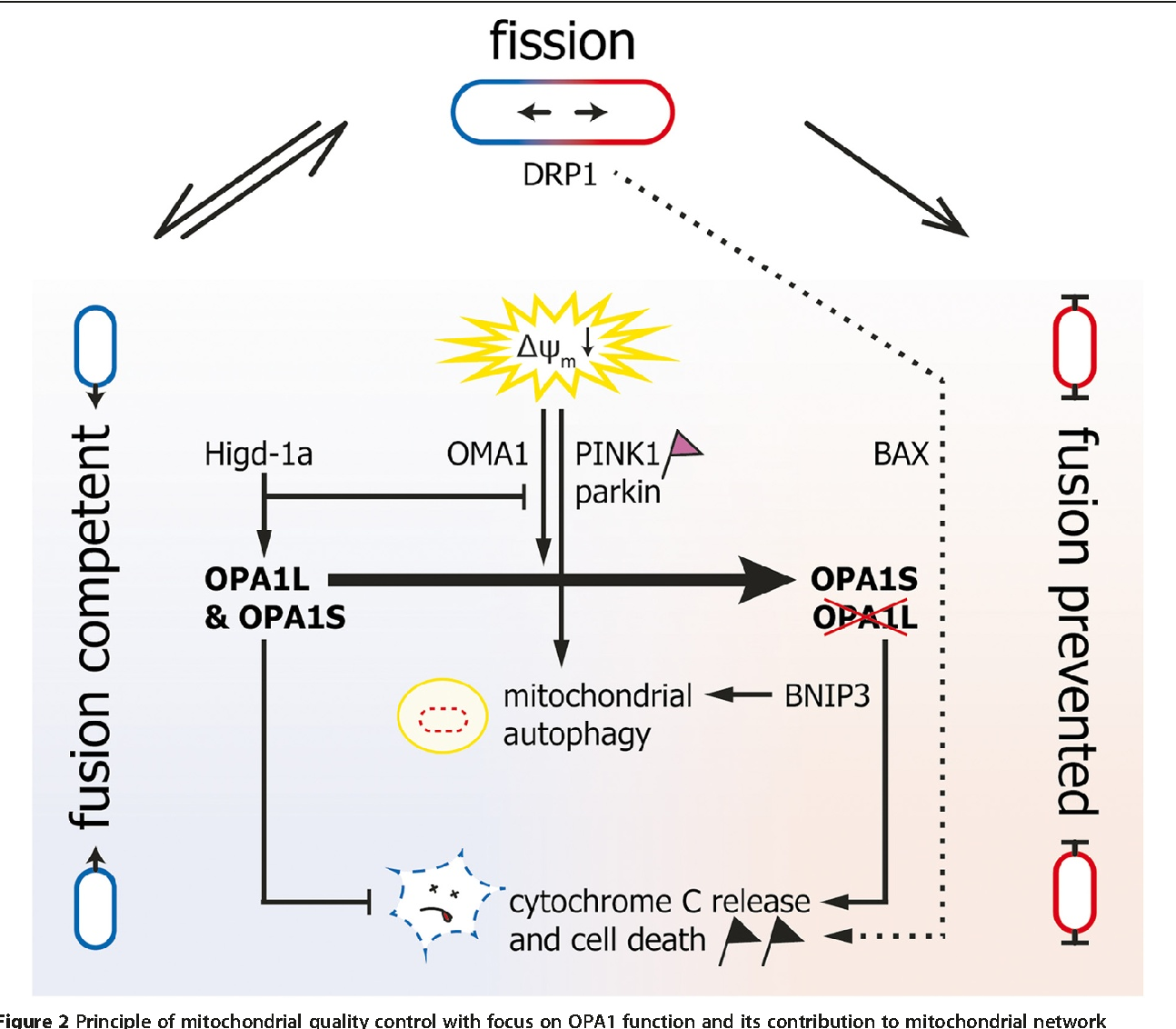 Dominant optic atrophy, OPA1, and mitochondrial quality control ...