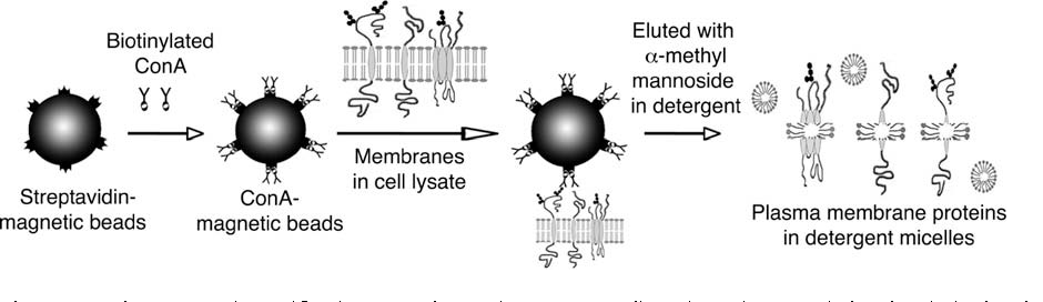 efficient to antibodies fast covalent of hqdefault magnetic beads coupling watch and