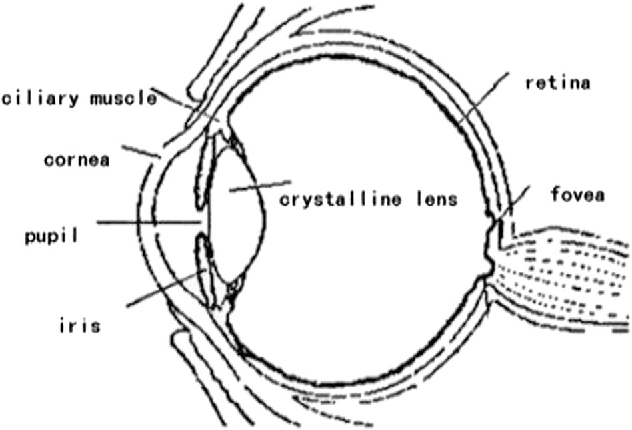 Fig. 1 Human eye structure