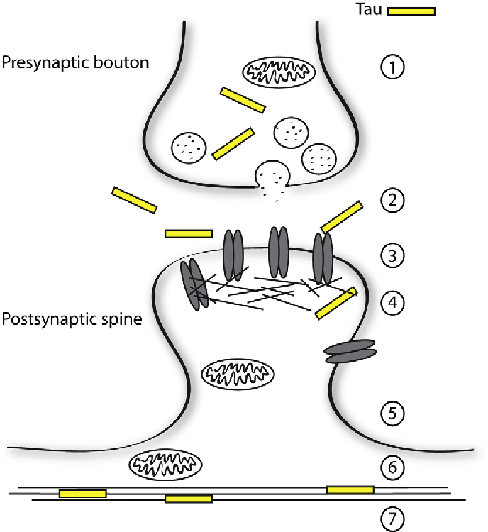 Figure 4 From A Role For Tau At The Synapse In Alzheimers Disease
