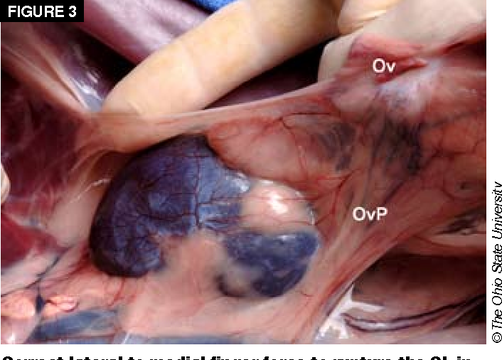 Suspensory ligament rupture technique during ovariohysterectomy in ...