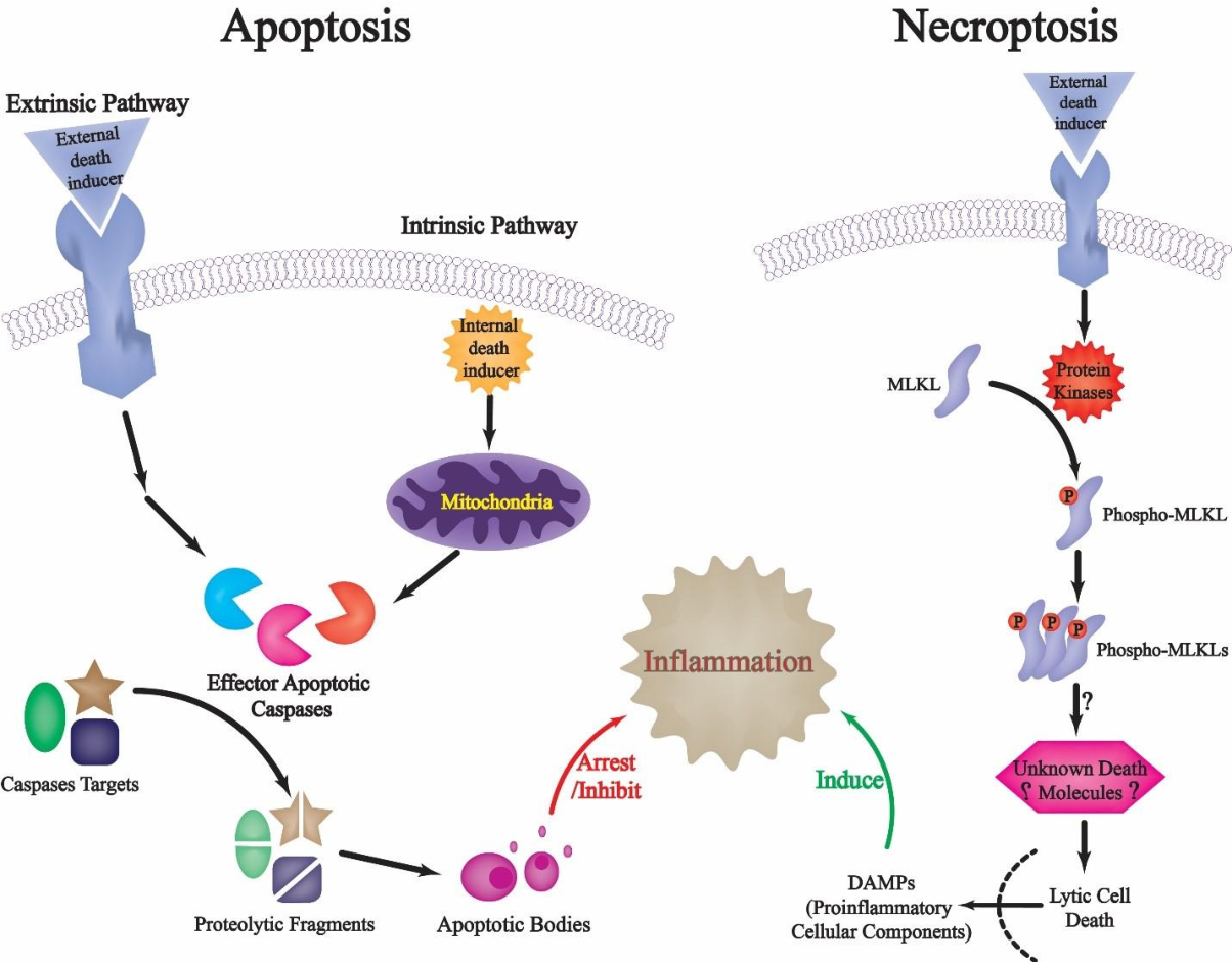 Figure 2. Two distinct mechanisms of cell death and impact on inflammation. In apoptosis, caspases cleave diverse signaling target substrate proteins that fine-tune the cell-death process. In necroptosis, protein kinases mediate the phosphorylation of MLKL, thereby activating it. Phospho-MLKL then
