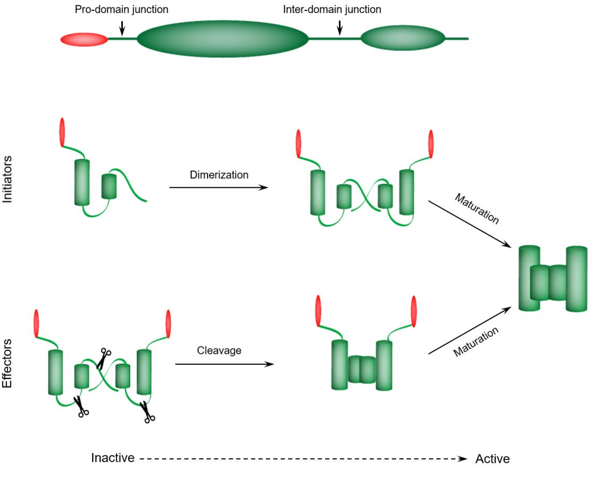 Figure 3. Caspases organization and activation. Upper. Human caspases domain organization. An N-terminal prodomain and C-terminal catalytic domain, consists of two covalently attached subunits. Locations for (auto)proteolytic events at Asp residues are labelled. Lower. General mechanism of activations. Initiator caspases are monomers that can be activated by pro-domain-dependent dimerization. Effector or executioner caspases are dimers that activate by the cleavage of inter-subunit junctions (linkers). Following initial activation, subsequent proteolytic events mediate the maturation process of the caspases to more stable versions.