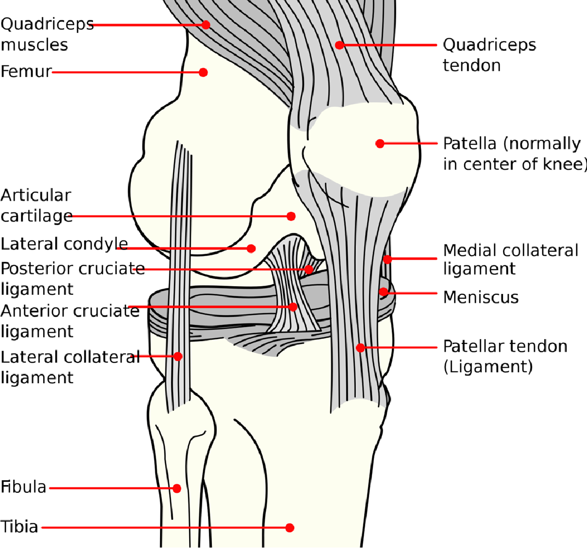 Finite Element Modeling Of Knee And Shoulder Ligaments By Semantic