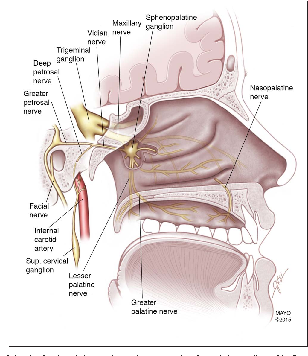 The Sphenopalatine Ganglion: Anatomy, Pathophysiology, and ...