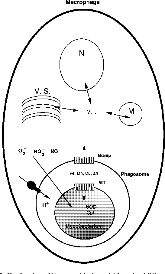 Figure 1 From Metal Ion Transporters And Homeostasis