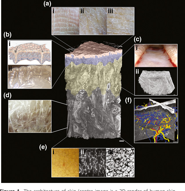 The Dynamic Anatomy And Patterning Of Skin Semantic Scholar