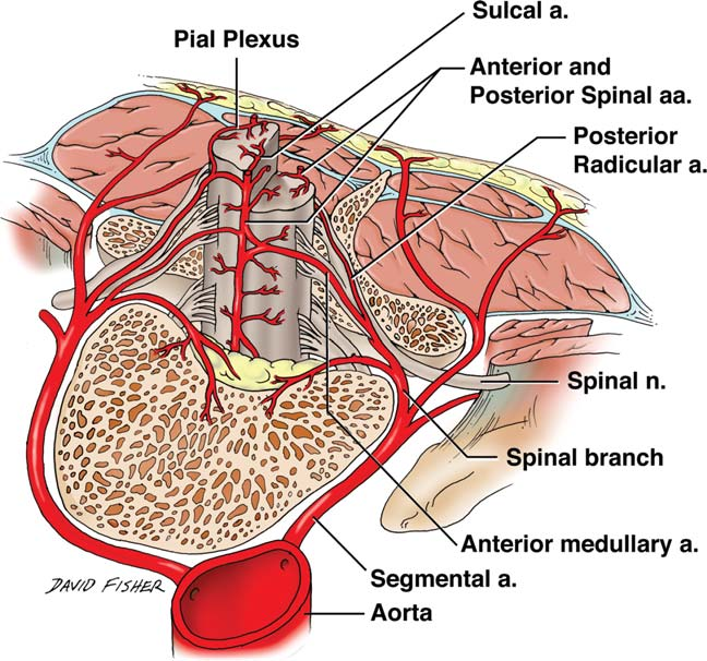 Figure 1 From Blood Supply To The Human Spinal Cord I Anatomy