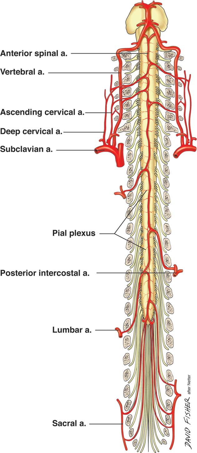 Figure 3 from Blood Supply to the Human Spinal Cord . I . Anatomy ...