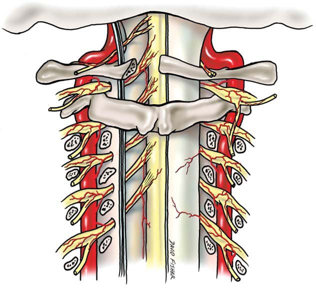 Blood Supply To The Human Spinal Cord I Anatomy And Hemodynamics