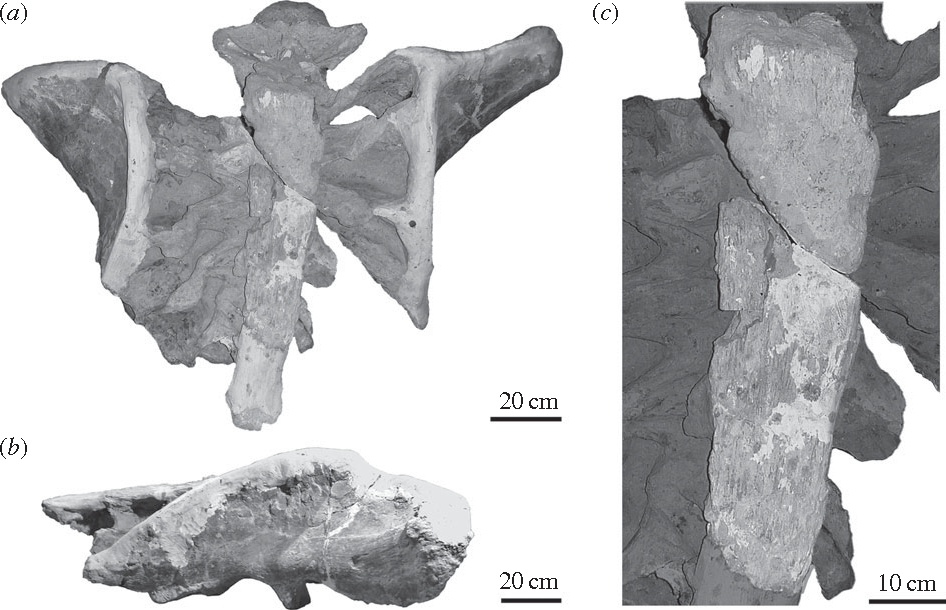 Figure 1 from Histological evidence for a supraspinous ligament in ...