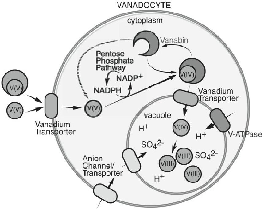Figure 4 From Vanadium Binding Proteins Vanabins From A Vanadium