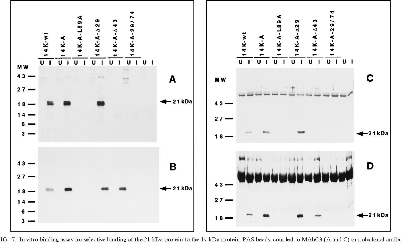 Figure 7 from The vaccinia virus 14-kilodalton (A27L) fusion protein