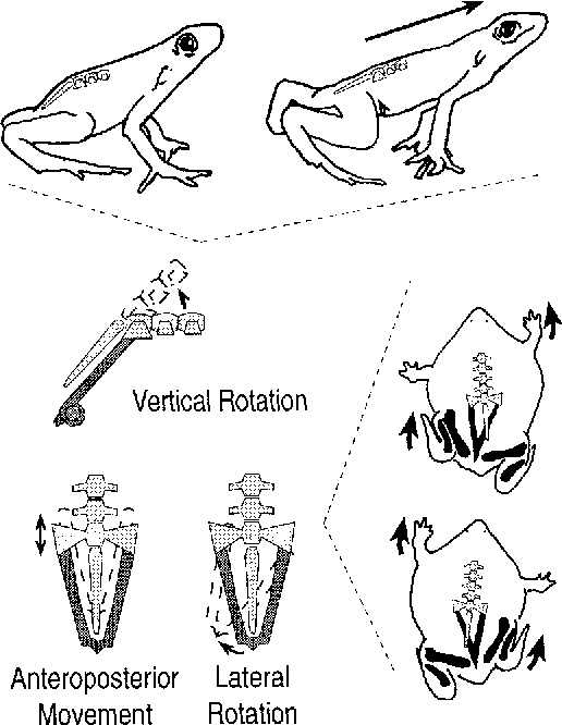 Figure 5 From The Evolution Of The Functional Role Of Trunk Muscles