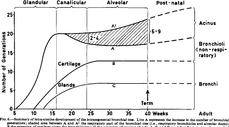 Development Of The Intrasegmental Bronchial Tree The Pattern Of