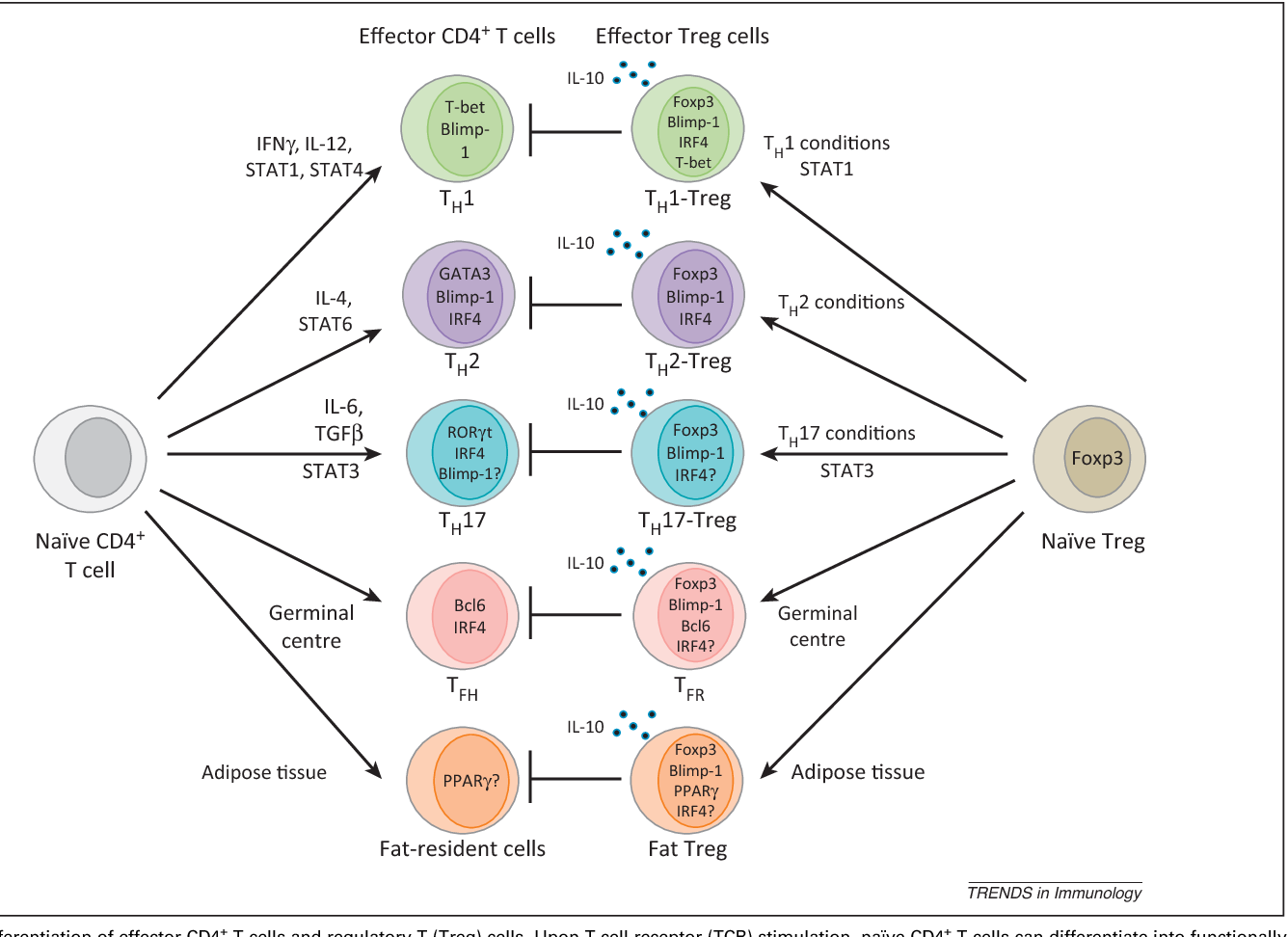 figure 1 from differentiation and function of foxp3 effector