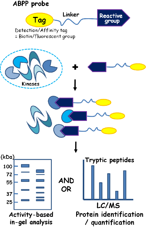 Figure 1 from Chemical kinomics: a powerful strategy for