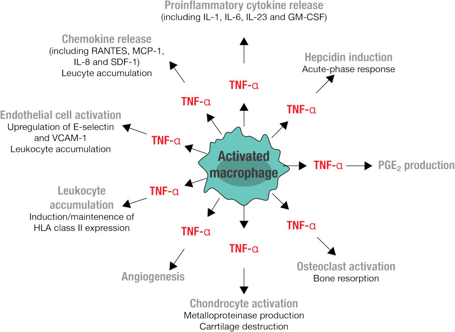 Figure 4 Simplified picture that outlines the typical TNF-α actions that are relevant to the pathogenesis of RA. Adapted from Brennan et al 2008 [74]
