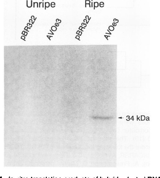 Figure 4. In vitro translation products of hybrid-selected RNAs. The pAVOe3 insert or linearized pBR322 was used to select from total RNA of ripe or unripe avocado fruit.