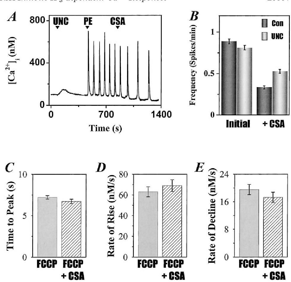 FIG. 9. Effect of cyclosporin A on the frequency and kinetics of IP3-dependent [Ca21]i oscillations in the absence of mitochondrial Ca21 uptake. Fura-2/AM-loaded hepatocytes were incubated in KR-HEPES buffer supplemented with glutamate and pyruvate 30 min prior to data acquisition. A shows a typical single-cell IP3-dependent [Ca 21]i response after inhibiting mitochondrial function. The additions are mitochondrial inhibitors (UNC; 5 mM FCCP, 5 mM rotenone, and 5 mg/ml oligomycin), phenylephrine (PE; 1.0 mM), and cyclosporin A (CSA; 5 mM). B, the frequency of PE-induced [Ca21]i oscillations was calculated before and after CSA addition in the absence of mitochondrial inhibitors (Con). In parallel cultures, hepatocytes were pretreated 5 min with mitochondrial inhibitors (UNC) prior to PE stimulation (see A for experimental protocol). The data are the means 6 S.E. (n 5 150–175 cells, four cell preparations) from parallel runs using hepatocytes from the same primary culture. Mitochondrial toxins did not significantly affect the initial frequency of PE-induced [Ca21]i spikes (left). However, mitochondrial inhibitors significantly reduced the effects of CSA (p , 0.001, right). C–E, the effects of CSA on the kinetic properties of PE-induced [Ca21]i oscillations in the absence of mitochondrial Ca21 uptake. Data were collected as described in Fig. 2. In the presence of mitochondrial inhibitors (FCCP 1 CSA), CSA did not significantly affect the shape or kinetics of the [Ca21]i spike. The data are the means 6 S.E. (n 5 54 cells, four hepatocyte preparations).