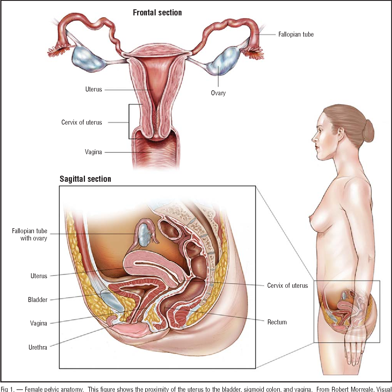 Table 1 From Uterus Cervix Of Uterus Vagina Ovary Fallopian Tube