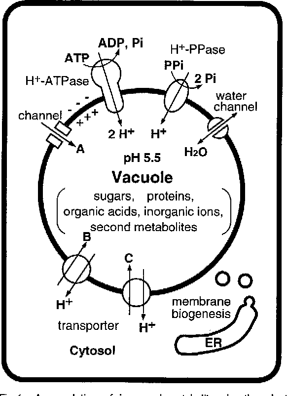 Proton Pumps Of The Vacuolar Membrane In Growing Plant Cells