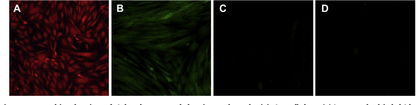 Fig. 4 e ImmunohistochemistryofP2chondrocytesseededontissue (B) FITC-labeled collagenase II. (C) FITC-labeled collagenase I. (D) FIT