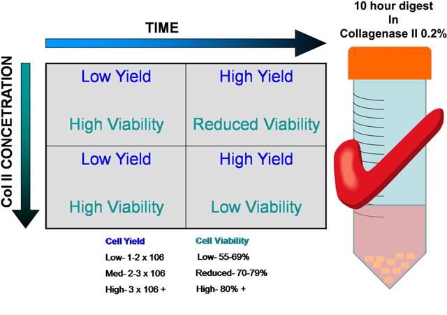 Fig. 7 e Images of optimal digest protocol and effect of time and collagenase concentration on cell yield and viability. (Color version of figure is available online.)