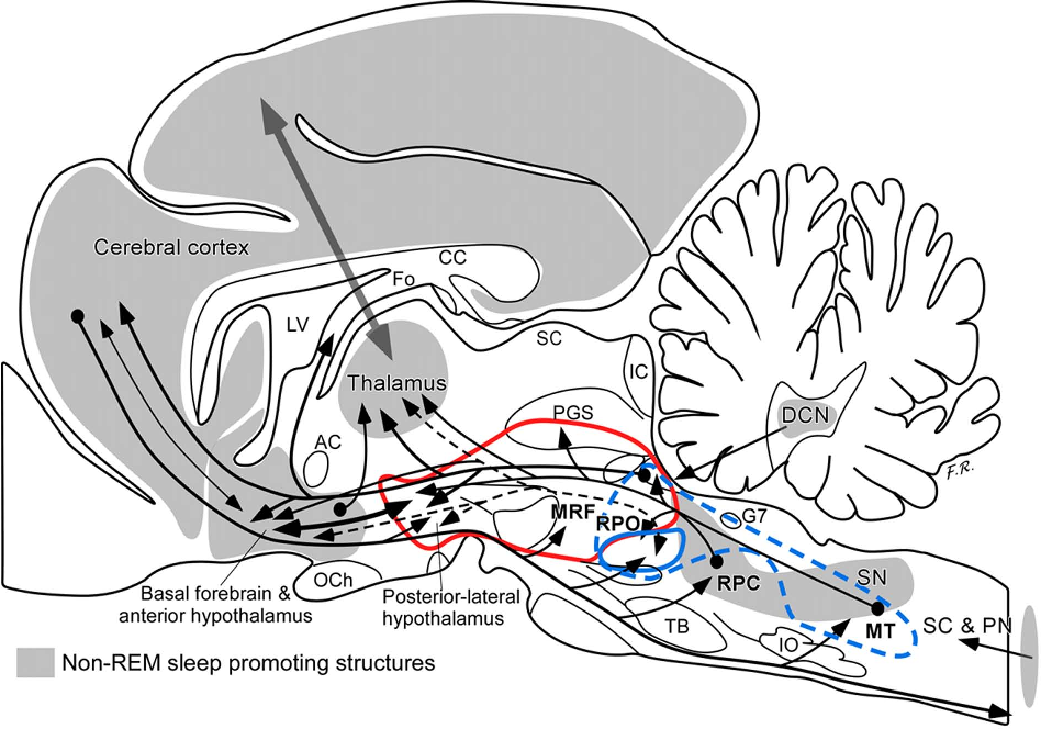 Functional Anatomy of Non-REM Sleep - Semantic Scholar