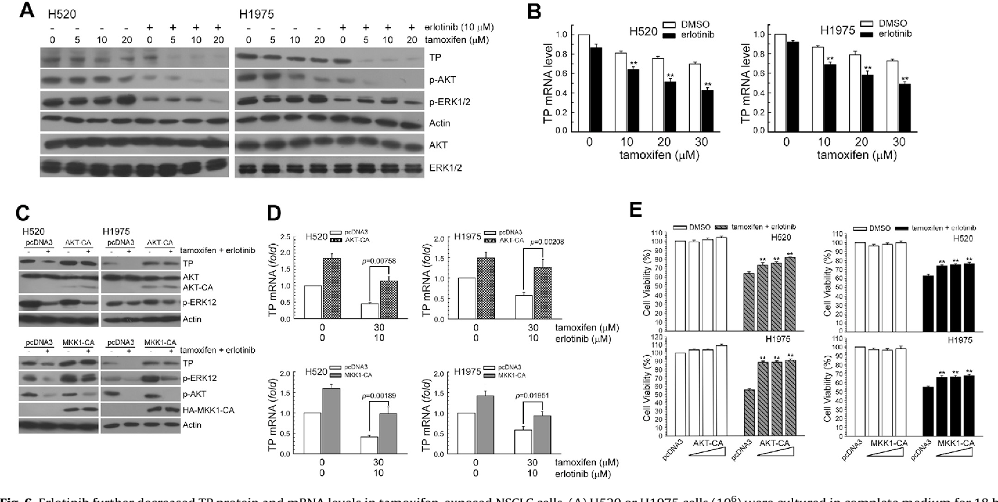 Fig. 6. Erlotinib further decreased TP protein and mRNA levels in tamoxifen-exposed NSCLC cells. (A) H520 or H1975 cells (106) were cultured in complete medium for 18 h and then were exposed to tamoxifen (5, 10, 20 mM) and erlotinib (10 mM) for 24 h. After treatment, cell extracts were examined by Western blot for determination of TP, phospho-AKT, phospho-ERK1/2, and AKT, ERK1/2, and actin protein levels. (B) After treatment as the above, total RNA was isolated and subjected to real-time PCR for TP mRNA expression. The means standard deviation (SD) from four independent experiments. ** denotes p < 0.01, respectively, using Student's t-test for comparison between the cells treated with tamoxifen/erlotinib alone or combined. Overexpression of AKT-CA or MKK1-CA restored erlotinib-suppressed TP protein expression and cell survival in tamoxifenexposed H520 and H1975 cells. (C) AKT-CA (5 mg) or MKK1-CA (5 mg) or pcDNA3 (5 mg) expression plasmids were transfected into cells using lipofectamine. After expression for 24 h, the cells were treated with tamoxifen (30 mM) and erlotinib (10 mM) for an additional 24 h, and whole-cell extracts were collected for Western blot analysis. (D) After treatment as the above, total RNA was isolated and subjected to real-time PCR for TP mRNA expression. The means standard deviation (SD) from four independent experiments. ** denotes p < 0.01, respectively, using Student's t-test to compare cells treated with tamoxifen and erlotinib in AKT-CA or MKK1-CA vs. pcDNA3-transfected cells. (E) After AKT-CA (1, 3, 5 mg) or MKK1-CA (1, 3, 5 mg) expression plasmids transfection, cells were treated with tamoxifen (30 mM) and erlotinib (10 mM) for 24 h. Cytotoxicity was determined by assessment with the MTS assay. ** p < 0.01, * p < 0.05 by Student's t-test to compare cells treated with tamoxifen and erlotinib in AKT-CA or MKK1-CA vs. pcDNA3-transfected H520 or H1975 cells.