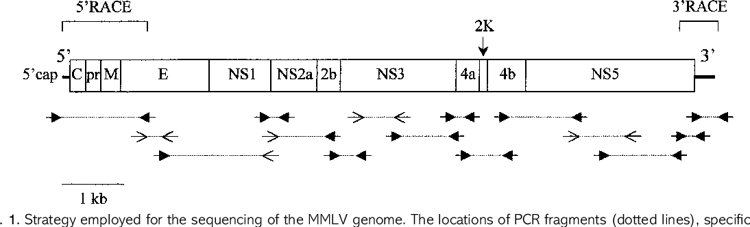 Fig. 1. Strategy employed for the sequencing of the MMLV genome. The locations of PCR fragments (dotted lines), specific primers (solid arrows) and random primers (open arrows) are indicated, along with the genomic organization of the virus.