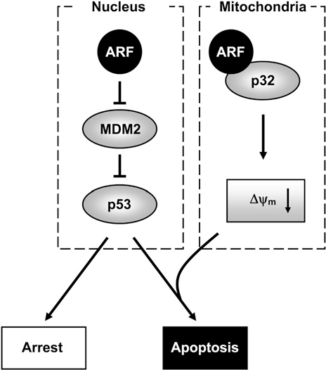 Figure 8. A Model for the Function of Mitochondrial ARF