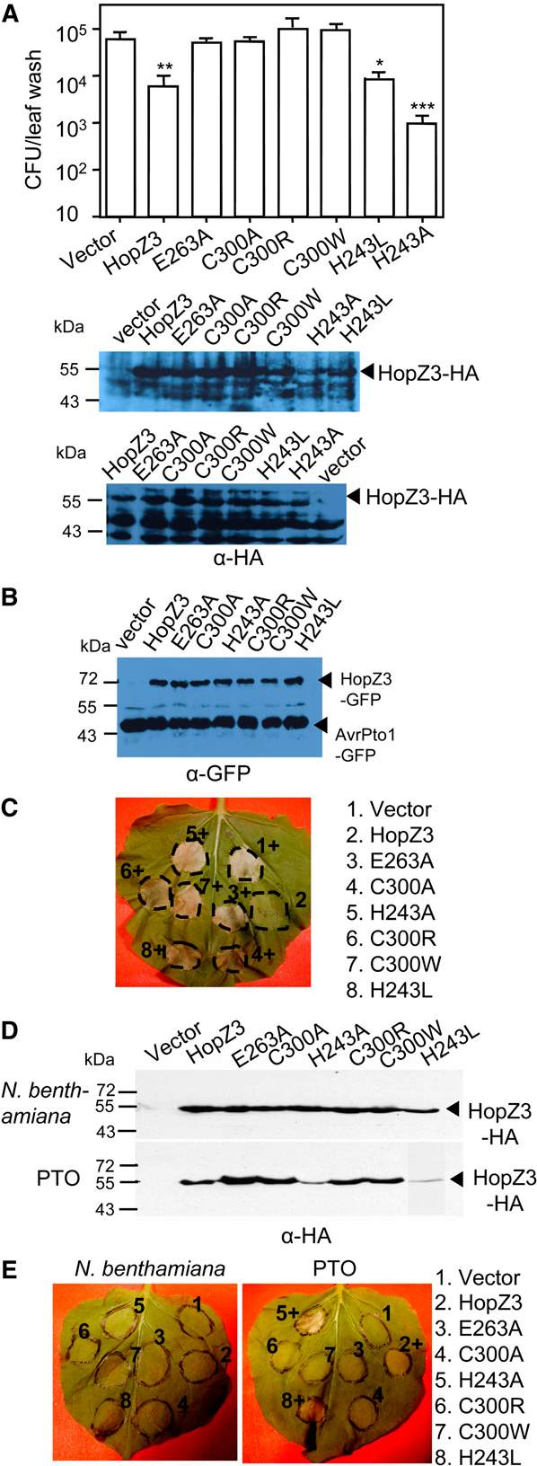 Figure 9. Conserved potential catalytic residues of HopZ3 are important for the function of HopZ3. A, Cys 300 and Glu 263 were important for HopZ3's effect on epiphytic bacteria growth. HopZ3- complemented with HopZ3-HA and HA-epitope-tagged point mutants driven by the constitutive npt2 promoter were sprayed onto N. benthamiana at an