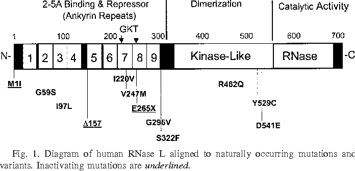 Fig. 1. Diagram of human RNase L aligned to naturally occurring mutations and variants. Inactivating mutations are underlined.