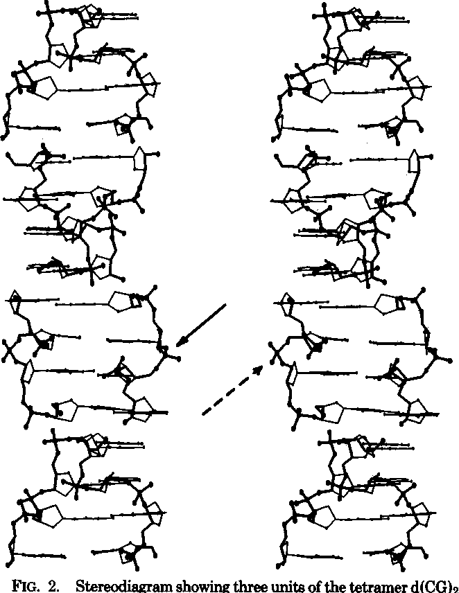 Figure 2 from The tetramer d(CpGpCpG) crystallizes as a left-handed ...