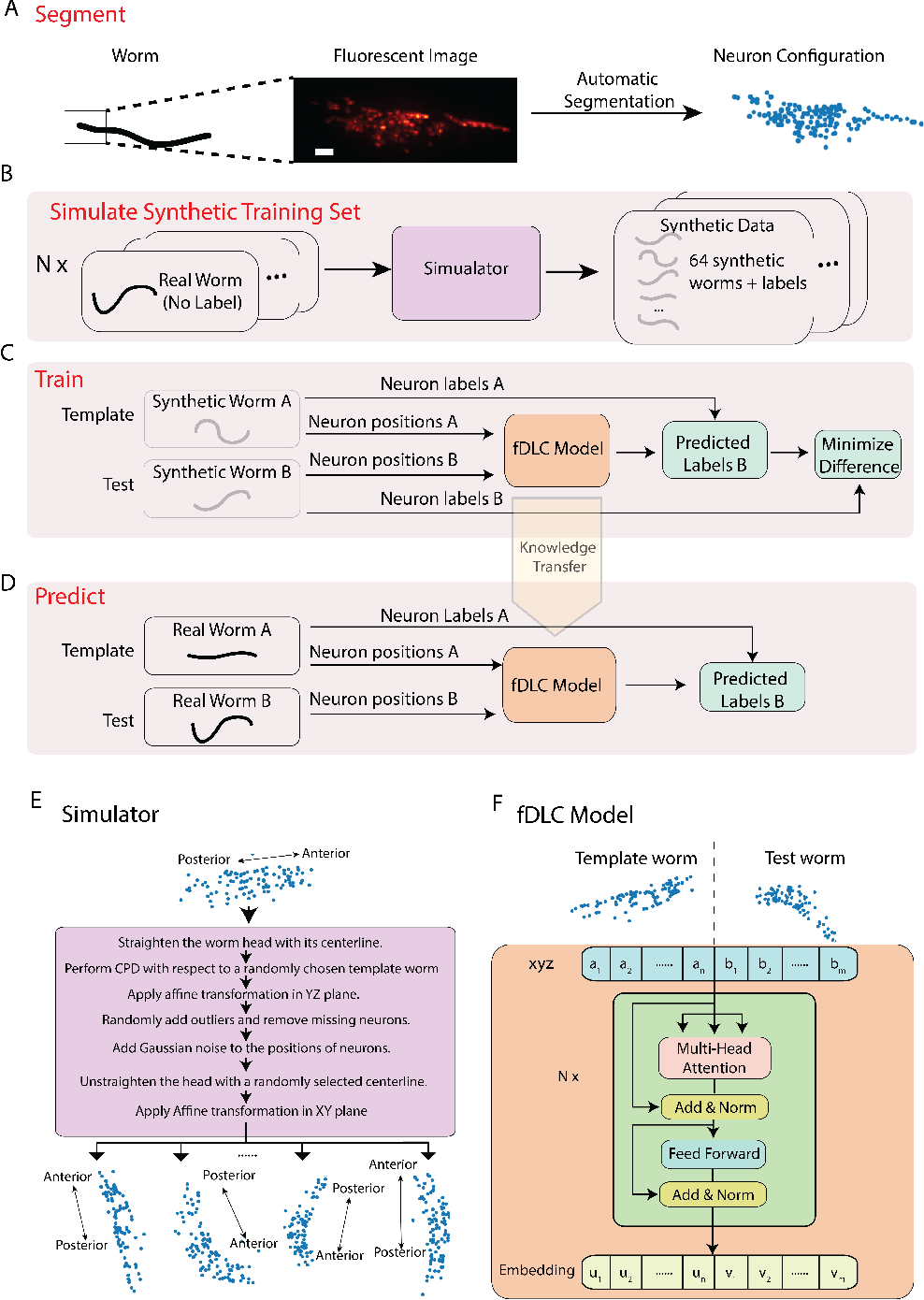 Figure 1 for Fast deep learning correspondence for neuron tracking and identification in C.elegans using synthetic training